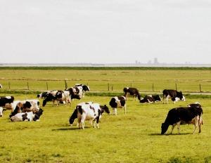 Les-vaches-sont-nombreuses-a-marken